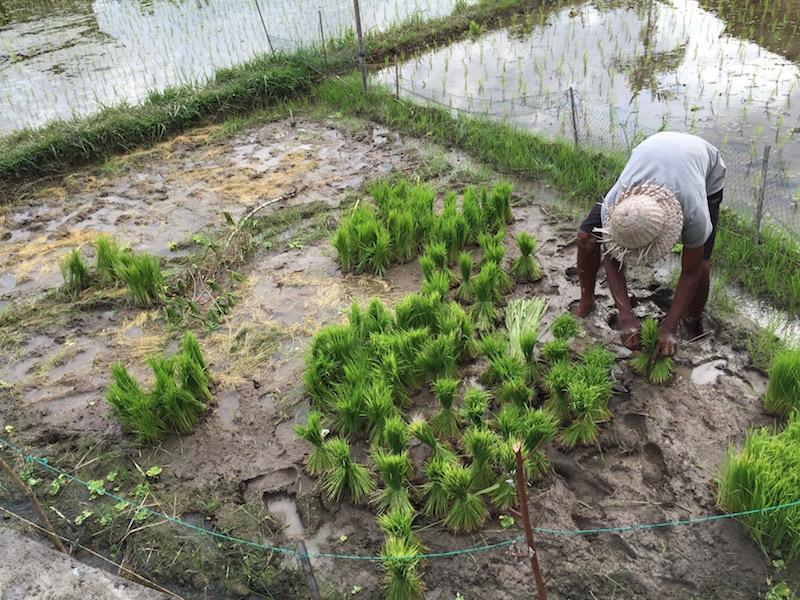 rice padi fields