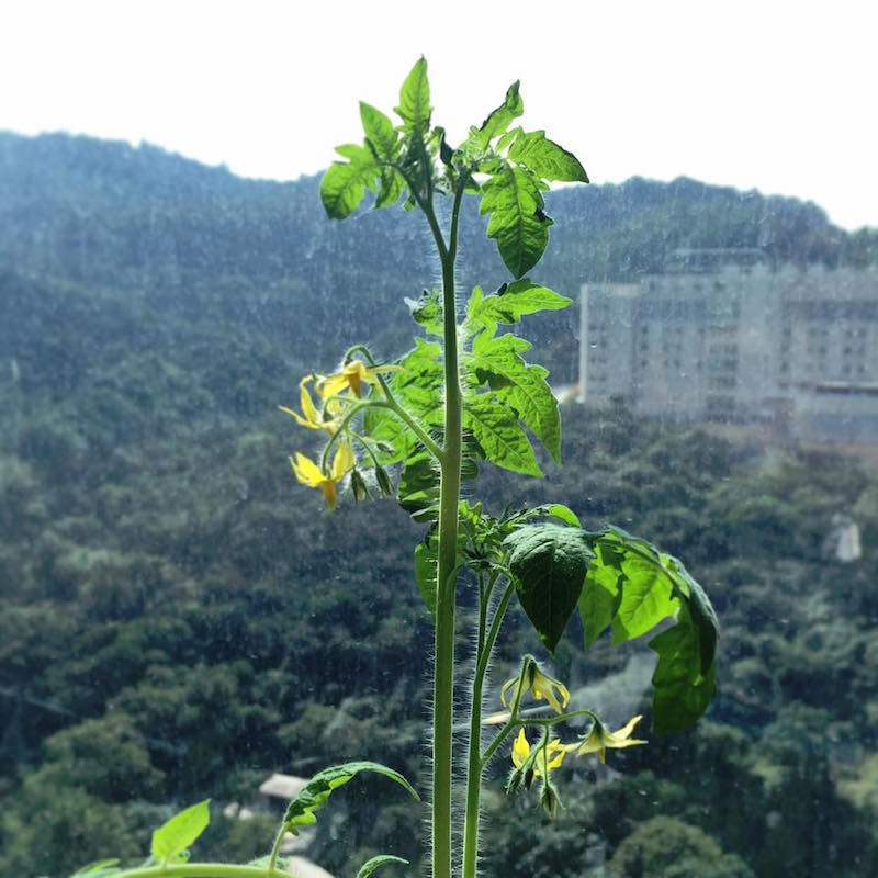 gardening tomato plants